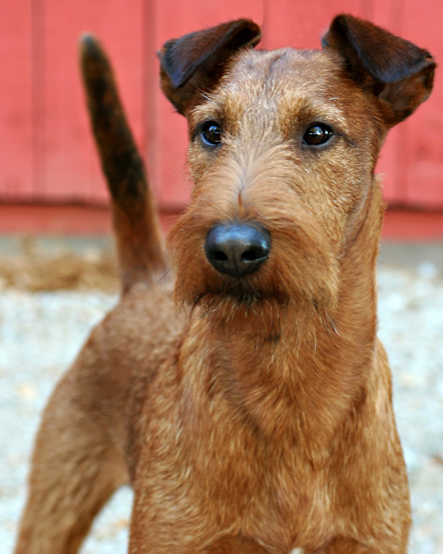 Irish Terrier Druid