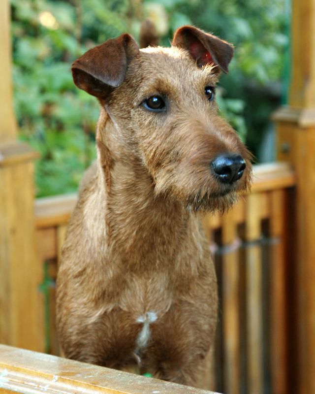 Irish Terrier Ayfa