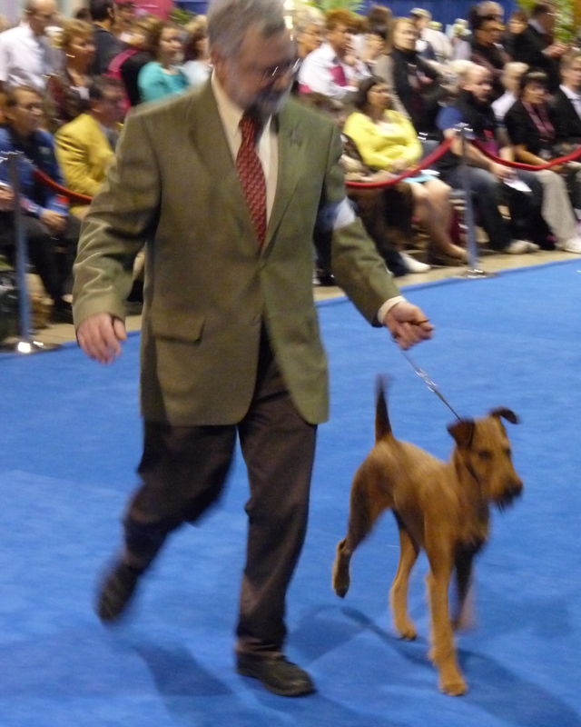 Irish Terrier Druid, Eukanuba National Championship