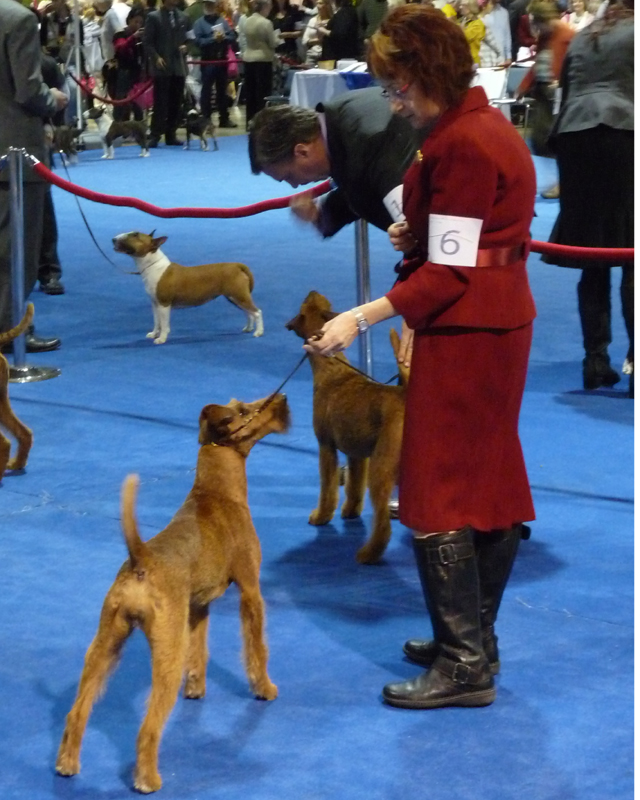 Irish Terrier Ayfa, Eukanuba National Championship