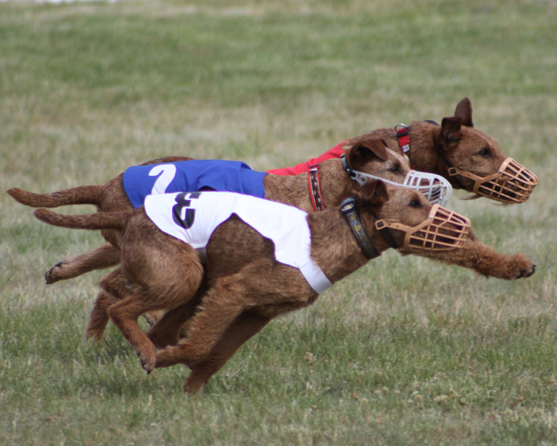 Irish Terriers in Sprint Race
