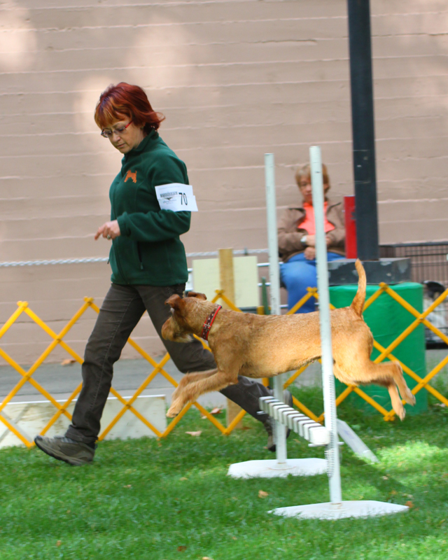 Irish Terrier Mocha in Rally Trial