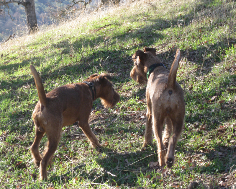Irish Terriers Druid and Mocha