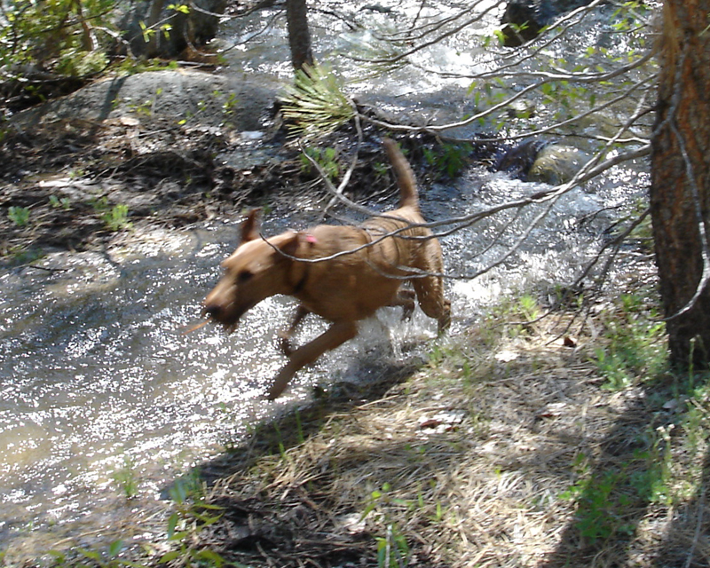 Irish Terrier Mocha Running