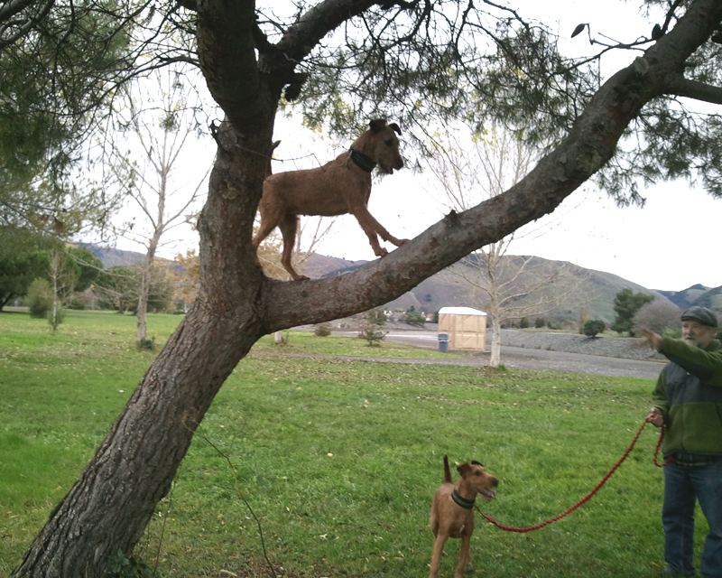 Irish Terrier Mocha Climbing Tree