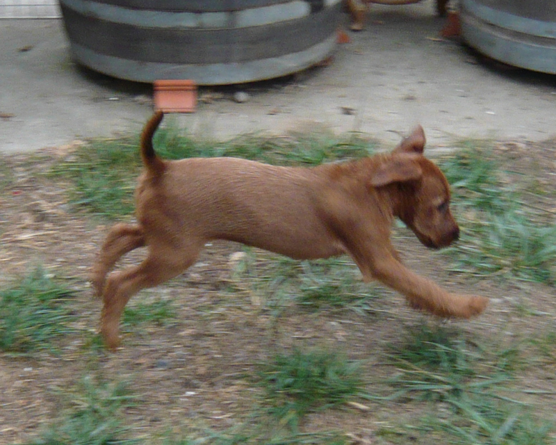 Irish Terrier Ayfa Running