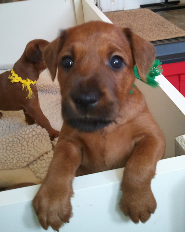 Irish Terrier Tobih