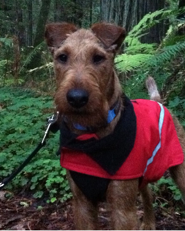 Irish Terrier Bullet