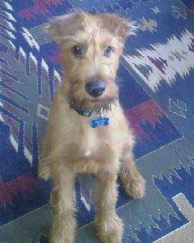 Irish Terrier Finn McCool