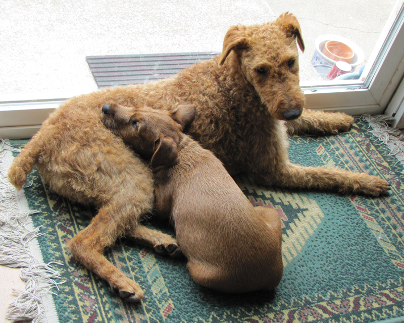 Irish Terriers Maggie and Tobih