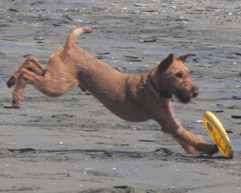 Irish Terrier Tobih at the Beach