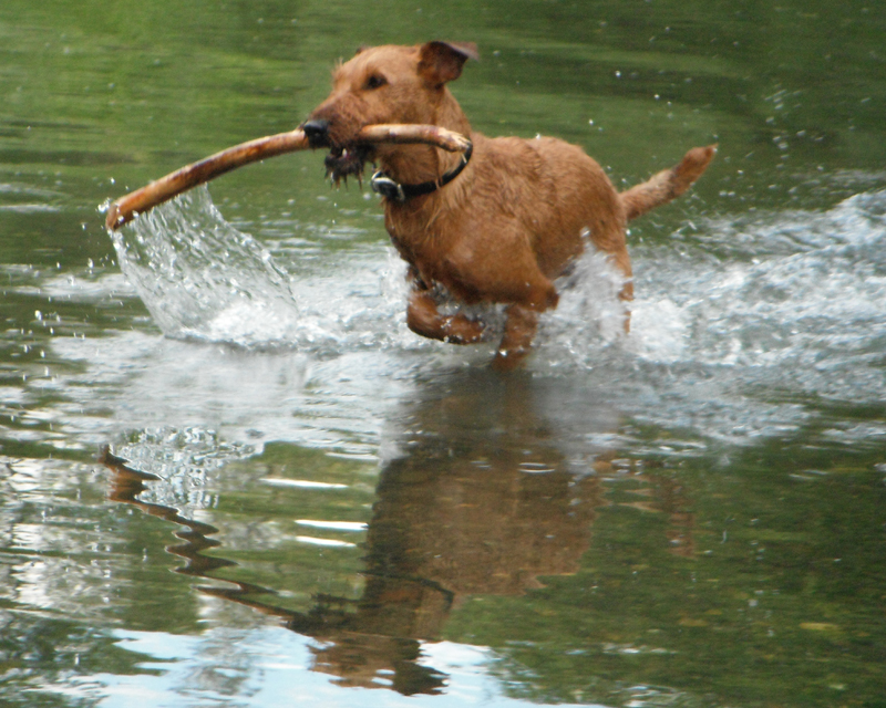 Irish Terrier Tobih in Russian River