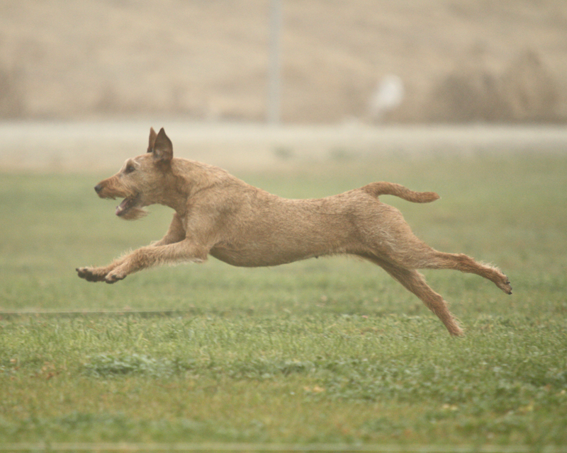 Irish Terrier in Coursing Ability Test