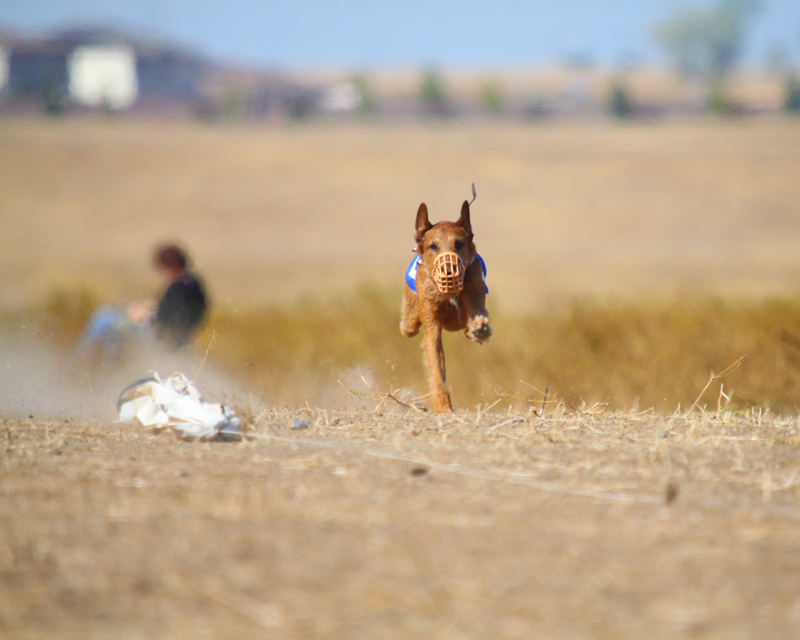 Irish Terrier in Sprint Race