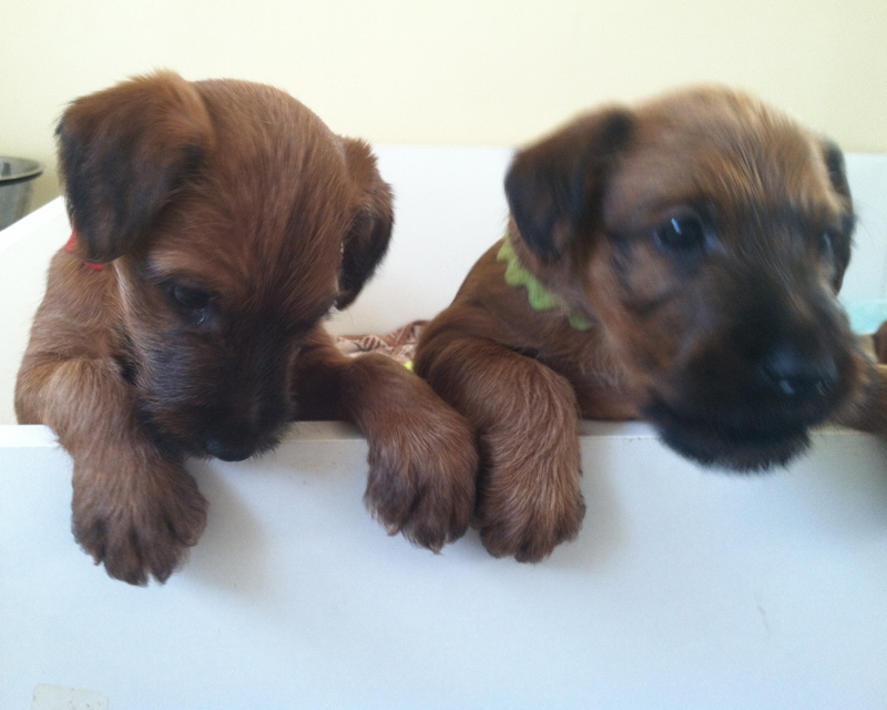 Irish Terriers Titania and Murphy