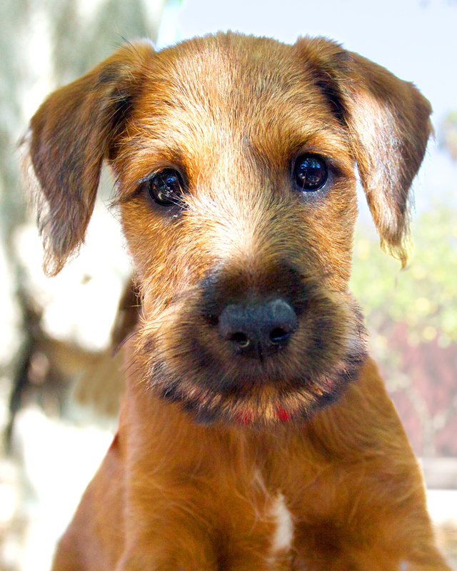 Irish Terrier Red Branch Summer Dream