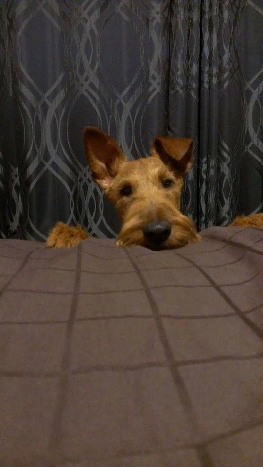 Irish Terrier Murphy