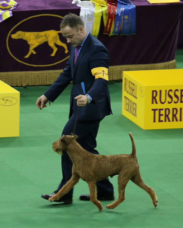 Irish Terrier Show Photo