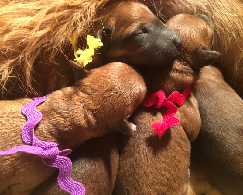 Titania's Puppies