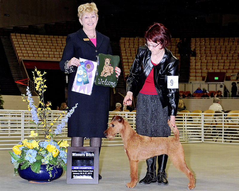Irish Terrier Daragan, Golden Gate Kennel Club, 2013